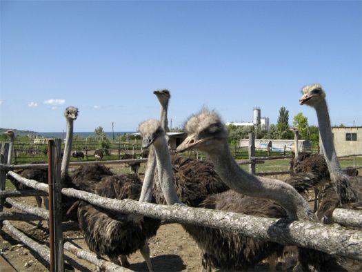 Обязательно съездите на страусиную ферму, если будете в Евпатории